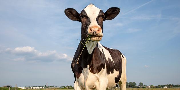 Una vaca muuuu loca