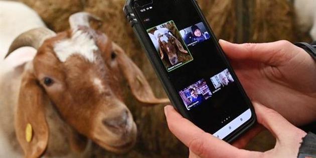 Videollamadas con cabras